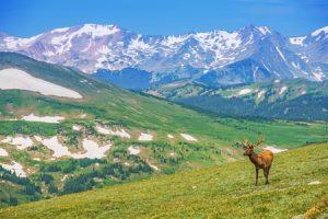 elk on the alpine meadow in colorado wilderness